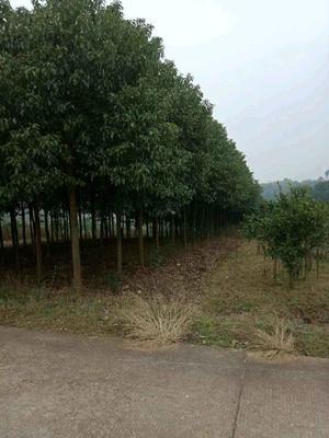 这是一张关于秋枫树 的产品图片