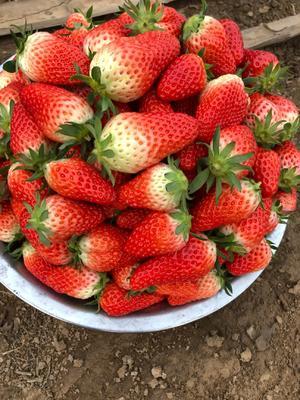 山东省东营市垦利县甜宝草莓 30克以上