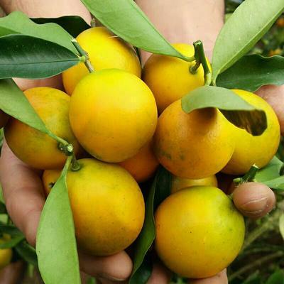 广西壮族自治区柳州市城中区脆蜜金桔 2-3cm 1两以下