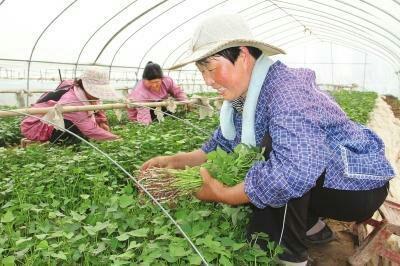 山东省临沂市临沭县紫薯苗 25~35cm