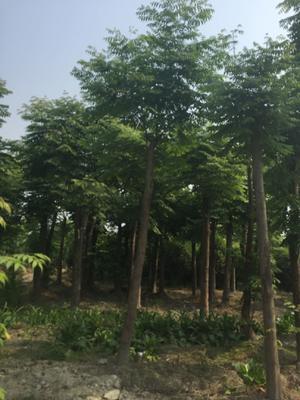 这是一张关于栾树 的产品图片