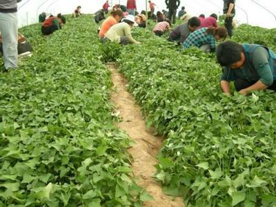 山东省临沂市临沭县西瓜红红薯苗 25~35cm