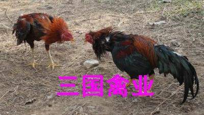 这是一张关于杂交斗鸡苗 的产品图片