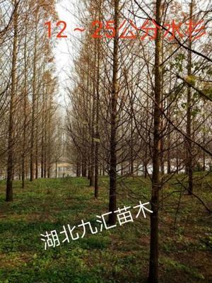 湖北省武汉市武昌区普通水杉