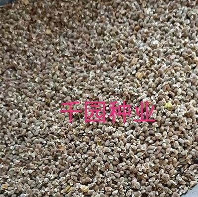 这是一张关于远志种子 的产品图片