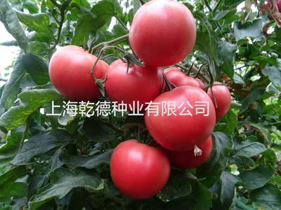 山东省潍坊市寿光市乾德M725 ≥99.9% 杂交种 ≥97%