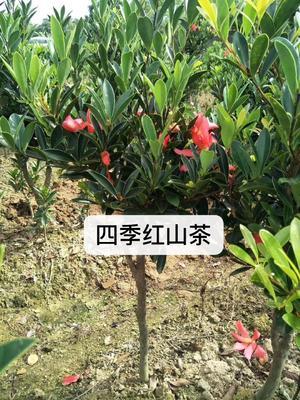广西壮族自治区钦州市灵山县茶花树 10cm以下