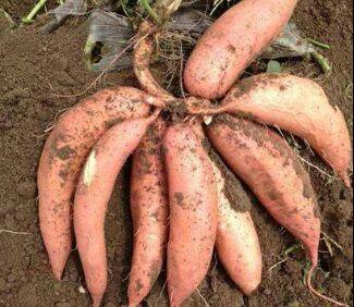 河南省信阳市浉河区商薯19红薯苗 15cm以下
