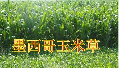 江苏省宿迁市沭阳县墨西哥玉米草