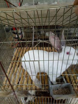这是一张关于伊拉兔 3-5斤 的产品图片