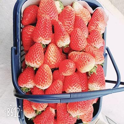 河南省商丘市梁园区红颜草莓苗 10~20公分 地栽苗