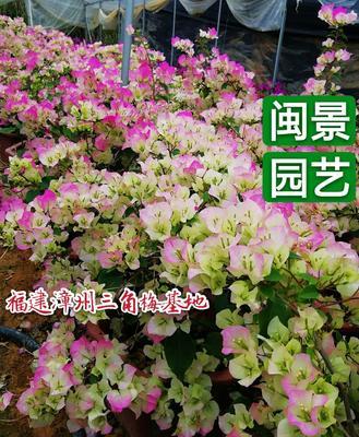 福建省漳州市龙海市绿樱三角梅 0.5~1.0米
