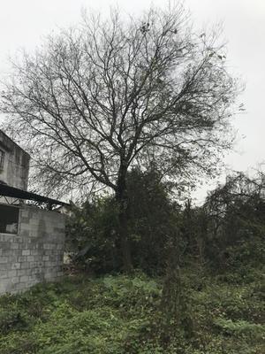 广西壮族自治区柳州市柳城县小叶朴
