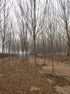 山东省聊城市东昌府区速生白蜡 5米以上