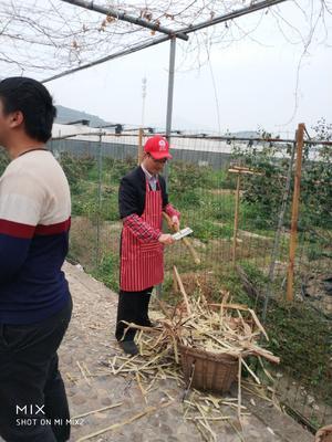 福建省莆田市涵江区青皮甘蔗 4 - 5cm 1.5 - 2m