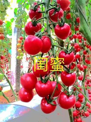 山东省潍坊市寿光市樱桃番茄种子 ≥98% 杂交种 ≥85%
