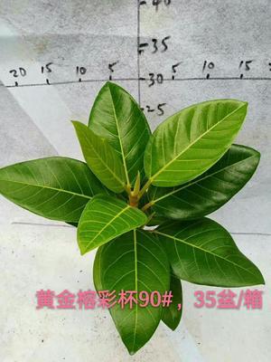 云南省昆明市呈贡区金叶榕