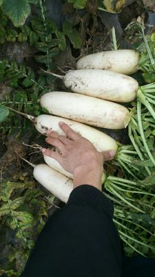 四川省达州市渠县白萝卜 1.5~2斤