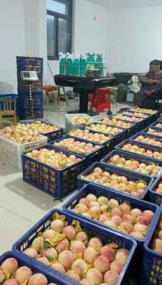 浙江省台州市天台县水蜜桃 55mm以上 4两以上