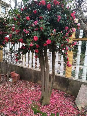 江西省上饶市玉山县茶花树 140cm以上