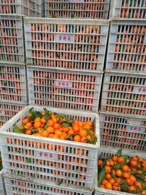 这是一张关于沙糖桔 统货 1两以下 的产品图片