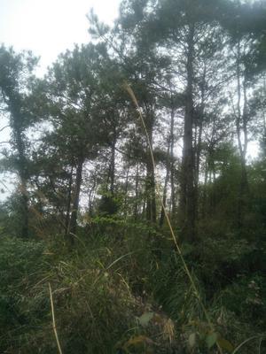 广西壮族自治区钦州市钦北区松木