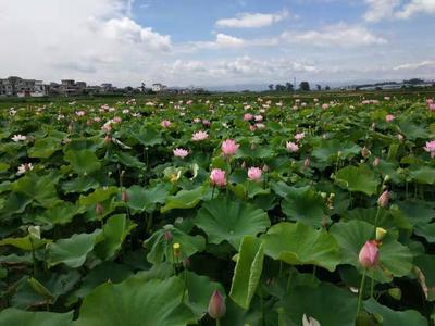 云南省红河哈尼族彝族自治州弥勒市青莲子 一级 95%以上