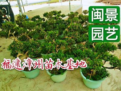 这是一张关于雀舌黄杨 的产品图片