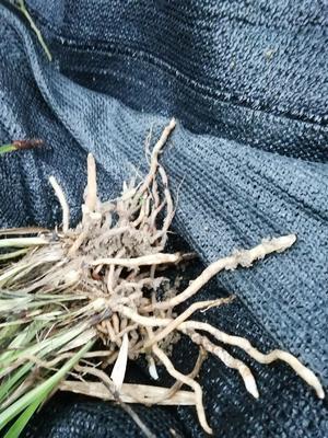 贵州省黔东南苗族侗族自治州黎平县建兰 裸根不带土