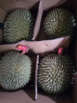 广西壮族自治区南宁市西乡塘区猫山王榴莲 2 - 3公斤 90%以上
