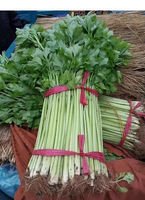 山东省临沂市兰陵县香芹 55~60cm 0.5~1.0斤 大棚种植