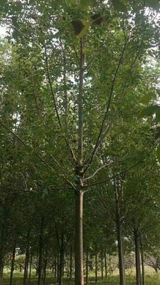 山东省菏泽市郓城县老式白蜡  5米以上 7-14公分量大