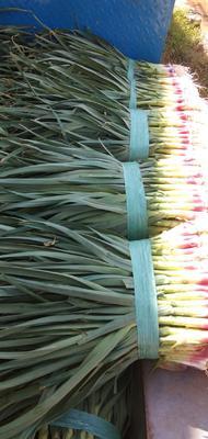 云南省红河哈尼族彝族自治州泸西县红根蒜苗 50 - 60cm