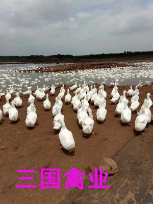 这是一张关于白鸭苗 的产品图片