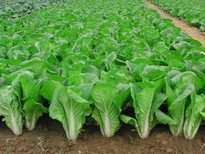 甘肃省酒泉市肃州区小白菜种子 原种 ≥85%