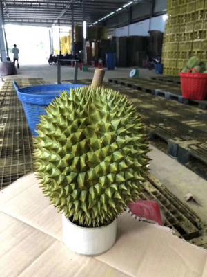 这是一张关于越南金枕榴莲 5公斤以上 90%以上 的产品图片