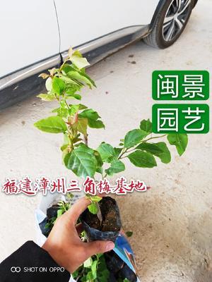 福建省漳州市龙海市红缨三角梅 0.2~0.5米