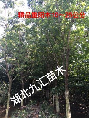 湖北省武汉市武昌区重阳木