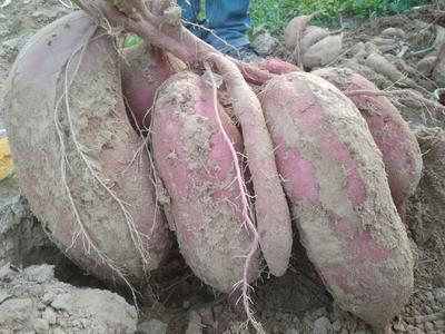河南省安阳市滑县商薯19红薯苗 15~25cm