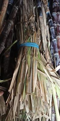 山东省临沂市兰陵县红甘蔗 6 - 8cm 2 - 2.5m