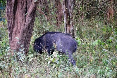 广西壮族自治区河池市环江毛南族自治县生态野猪 统货 30-40斤