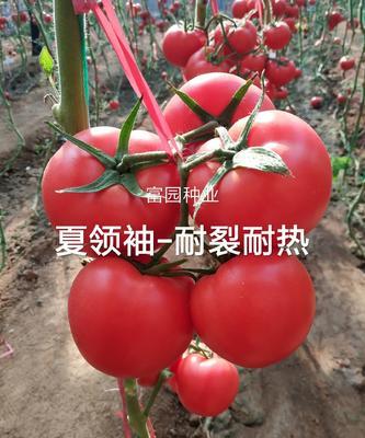 山东省潍坊市寿光市硬粉番茄苗 四两叶一心