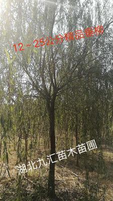 湖北省武汉市武昌区垂柳