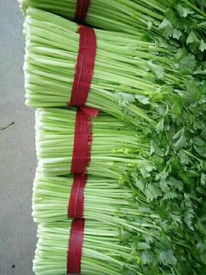 江苏省徐州市新沂市西芹 50~55cm 0.5斤以下 大棚种植