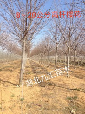 湖北省武汉市武昌区高干樱花 3~3.5米 14~16公分