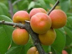这是一张关于黄杏苗 的产品图片