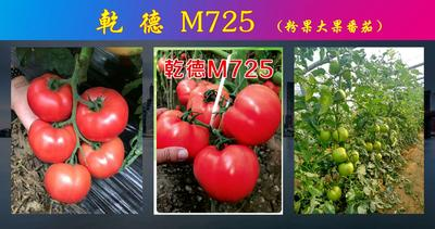 山东省潍坊市寿光市粉果番茄种子 ≥95% 杂交种 ≥85%