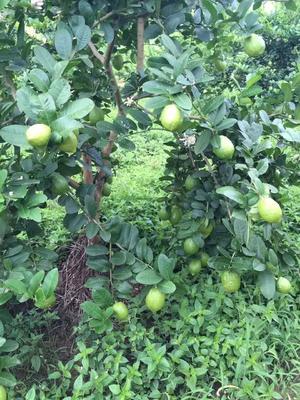 广东省广州市增城区香水柠檬 2.7 - 3.2两