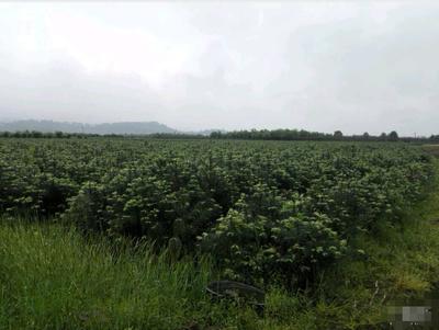 广西壮族自治区桂林市临桂县杉木树苗
