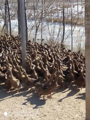这是一张关于金定鸭 2-3斤 母 半圈养半散养 的产品图片